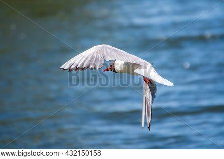 Beautiful Black Headed Gull, In Elegant Flight Over Blue Water. The Black-headed Gull, Latin Name Ch