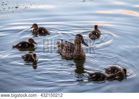 A Family Of Ducks, A Duck And Its Little Ducklings Are Swimming In The Water. The Duck Takes Care Of