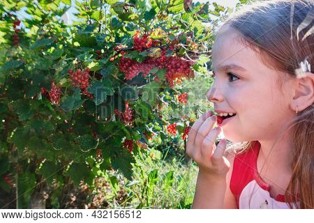 A Happy Girl, A Child Holds A Red Currant In Her Hand And Eats Red Berry In The Garden On A Sunny Da