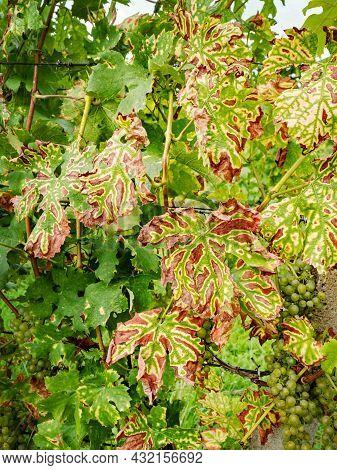 Vine Leaves Affected Petri Disease Or Esca Disease. The Grapevine Leaf Stripe Disease (glsd) Typical