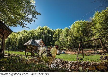 Rooster  in beautiful bosnian mountains, Bjelasnica. Bosnia and Herzegovina.