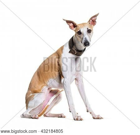 Sitting Whippet dog wearing a collar and looking at camera isolated on white