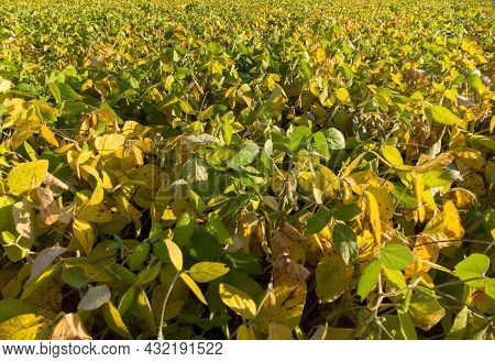 Yellow And Green Leaves Of Ripening Soybeans In The Field Of Agriculture.