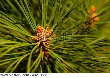 Background Of Green Young Coniferous Twig. Pine Branch Close-up.