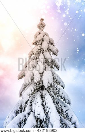 White Christmas. Coniferous Tree Covered By Snow In Nature. Snowing Weather In The Evening Time.