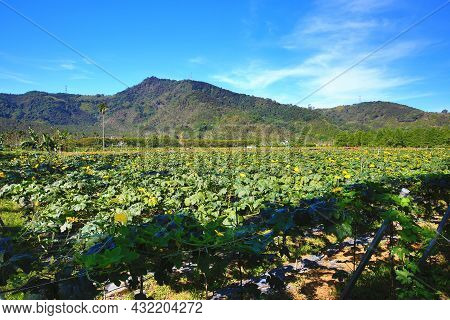 Amazing View Of Luffa(loofah) Plantation With Blooming Yellow Luffa Flowers At Sunny Summer