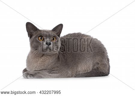 Blue Burmese Cat Kitten, Laying Down Side Ways. Looking  Up And Away From Camera. Isolated On A Whit