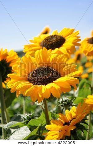 Yellow Summer Joy
