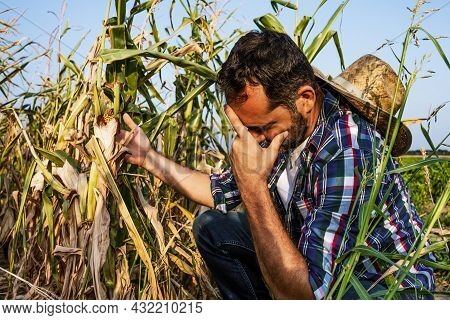 Farmer Is Displeased And Sad Because His Corn Field Is Devastated By Drought.
