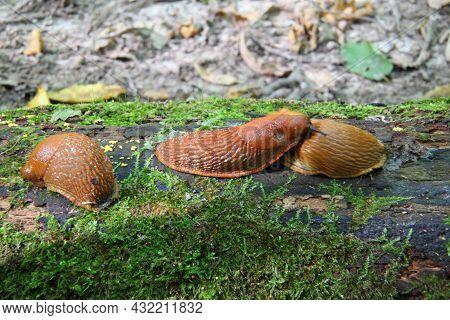 Spanish Slug - Arion Vulgaris. Slugs In Motion, On Tree Stump. Spanish Slug.