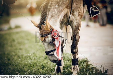 The Muzzle Of Gray Horse Of The Winner Of The Competition. Portrait Sports Gray Stallion In The Brid