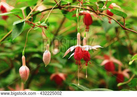 Amazing View Of Hybrid Fuchsia(lady's Eardrops,fuchsia,common Fuchia) Flowers,close-up Of Red With P