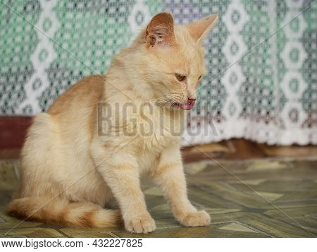 Fluffy Domestic Cat Shows Tongue. Cat With Tongue Out.
