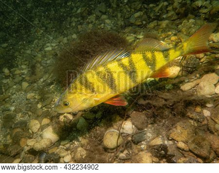 A Close-up Picture Of A European Perch, Perca Fluviatilis, In Cold Northern European Waters. Pebbles