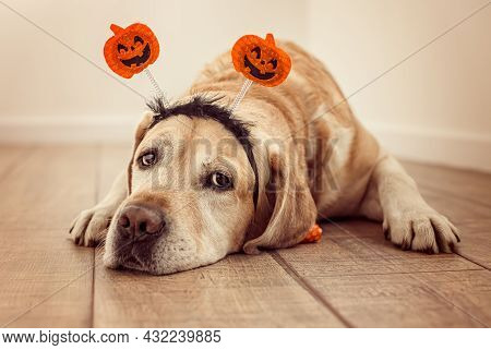 Labrador In A Rim On The Head With Pumpkins. Halloween Theme