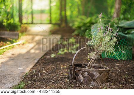 Lavender Bush In A Basket In The Garden