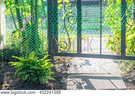 Green Hosta Plant Bush In The Garden