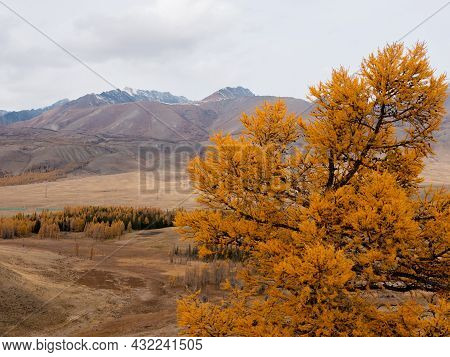 Yellow Larch, Close-up Against The Background Of The Altai Mountains. Severo-chuysky Ridge, Chuysky