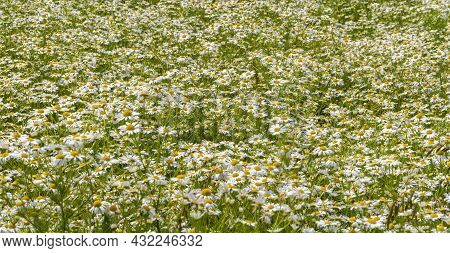 Detail Shot Of A Daisy Flower Meadow At Summer Time