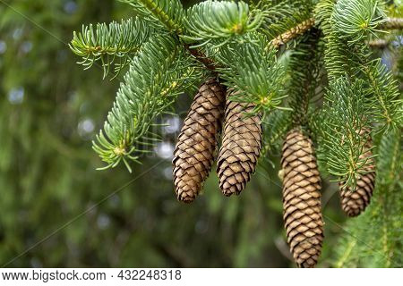 Some Fir Cones And Twigs In Natural Ambiance