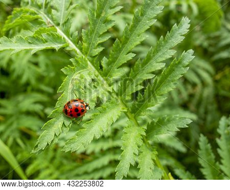 Lady Bug On A Green Spiky Leaf In Sunny Ambiance