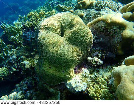 Stony Coral Lesser Valley Coral (platygyra Daedalea) Undersea, Red Sea, Egypt, Sharm El Sheikh, Nabq