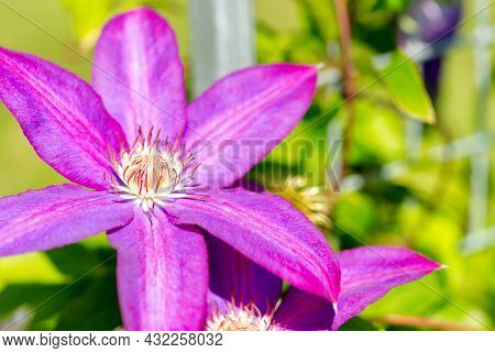 Sugar Candy Clematis Pink Flowers. Close Up