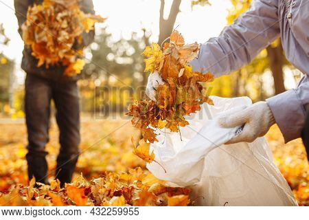 Hands Collect And Put The Fallen Leaves In A Bag. A Close-up Shot Of Collection Of Leaves In An Autu
