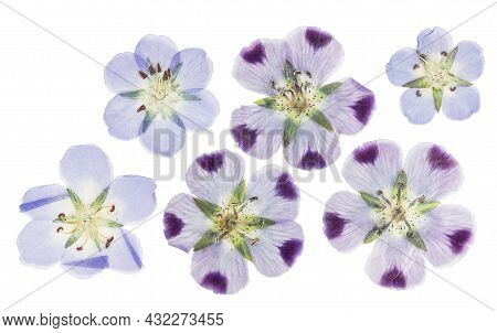 Pressed And Dried Delicate Flowers Nemophila. Isolated On White Background. For Use In Scrapbooking,
