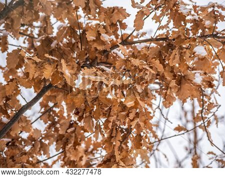 Bright Dry Orange Brown Oak Leaves On Branches Of Oak Tree Covered Of White Snowflakes. Snowfall In