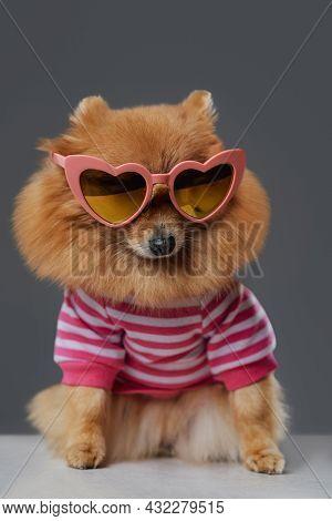 Fashion Pomeranian Doggy With Eyewear And Striped Shirt