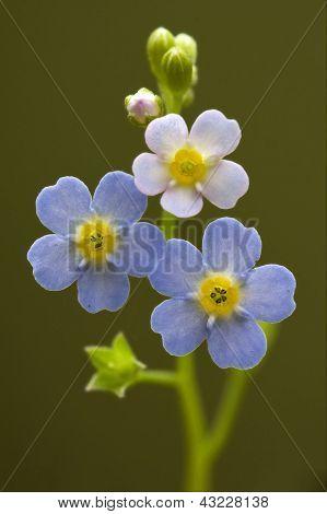 Blue Yellow Anagallis Foemina