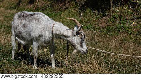 Grey Goat At The Pasture At The Sunny Summer
