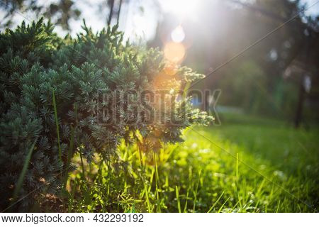 Juniper Bush In The Garden With The Rays Of The Evening Sun