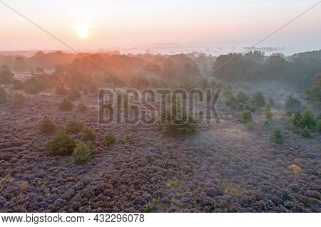 Aerial from bloddoming moorlands at the Holterberg in the Netherlands at sunrise with fog