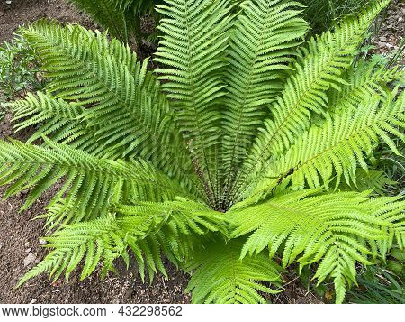 Green Fern Leaves. Tropical Plant, Floral Texture.