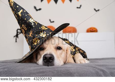 A Dog Dressed As A Witch For Halloween. Golden Retriever In Halloween Room With Pumpkins, Bats, Spid