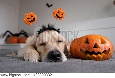 Halloween Dog. Golden Retriever In A Halloween Room With Pumpkins, Bats, Spiders