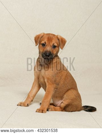 A Charming Puppy Sits And Looks Carefully. A Small, Cute Pet. Seven-week-old Puppy