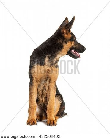 Head shot of German shepherd dog black and tan looking back, isolated on white