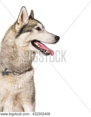 head shot of a panting Husky wearing a collar against a white background