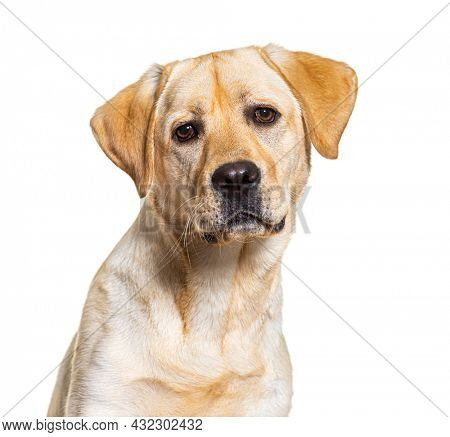 head shot of yellow Labrador dog facing at camera, isolated on white