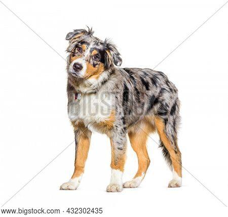Australian shepherd dog blue merle
