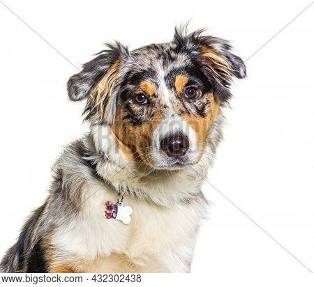 portrait, head shot, Australian shepherd dog blue merle facing the camera
