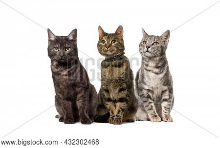 Group of crossbred domestic cats, adult, sitting in a row, pets. One wearing a collar, isolated on white