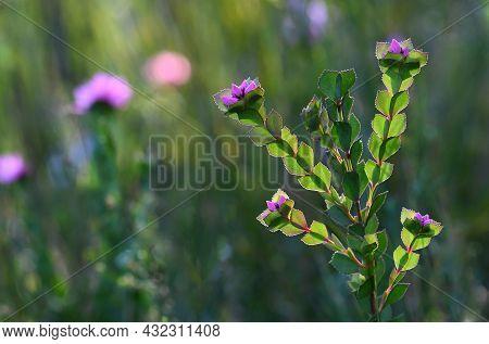 Australian Spring Wildflower Meadow Background Featuring The Native Rose, Boronia Serrulata, Family