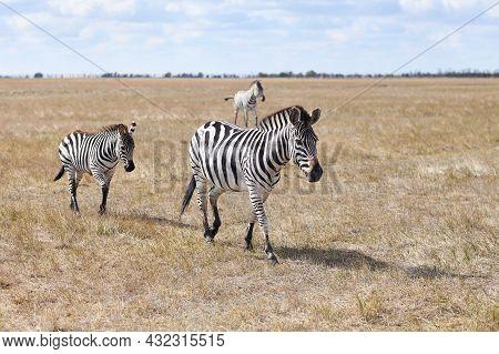A Zebra Mom With Her Baby Zebra In Grasslands Of Virgin Steppes