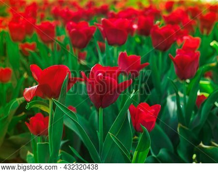 Beautiful Red Tulips Of The Couleur Cardinal Cultivar In The Flowerbed At The Festival Of Flowers