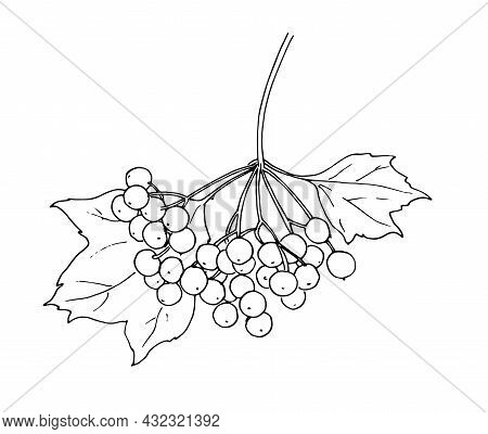 Vector Sketch Of Kalina. A Hand-drawn Sprig Of Medicinal Viburnum, A Bunch Of Berries And Leaves, An