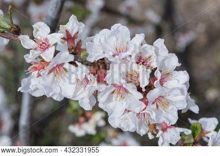A Blooming Spring Garden. Blooming Cherry (latin: Prunus Tomentosa) Close Up. Small Depth Of Field.
